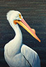 A Great White American Pelican